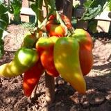 Nos tomates cornues des Andes.