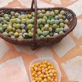 Nous avons récolté plus de 200 kilos de prunes!