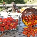Nos tomates du jardin.