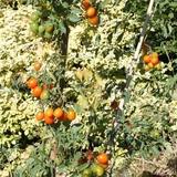 Nous avons cultivé plusieurs variétés anciennes de tomates cerises.