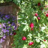 De jolies rosiers ornent les facades