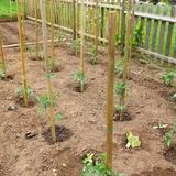 Les tomates viennent de s'inviter au potager, tout début mai.