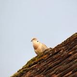 Le surveillant du domaine, il est présent chaque jour sur notre toit.