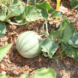 Nos melons du potager 100% naturels!